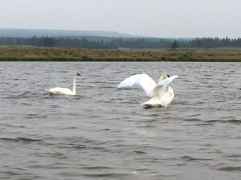 Swan Lake 4