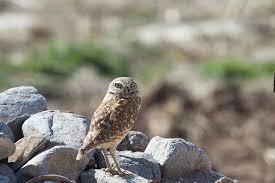 Cibola nwr 1 -owl